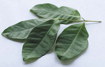 Bay Leaves for Diabetes