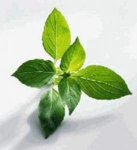 Basil Leaves for Overcoming Diarrhea