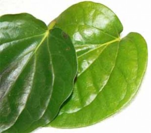 Betel Leaves as a Traditional Medicine for Vaginal Discharge