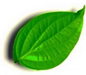 Betel Leaves for Stopping Nosebleed