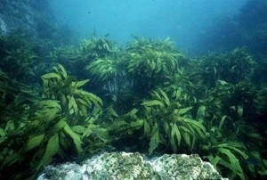 Seaweed for Healthy Cholesterol Level