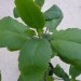 Kalanchoe Pinnata for Wound Treatment